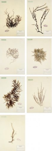 Herbarium (suite Of 7 Images) by Mark Dion