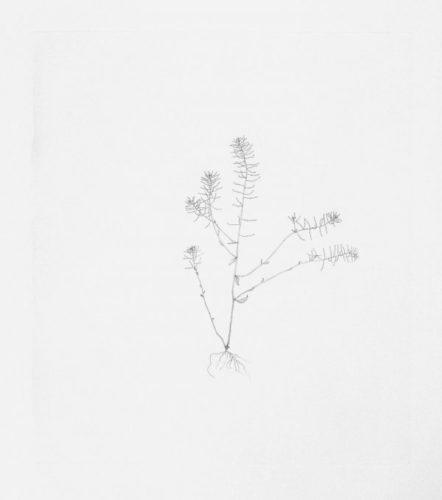 Thale Cress by Michael Landy