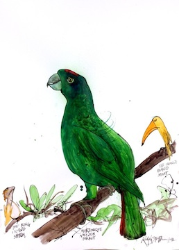 Martinique Amazon Parrot by Ralph Steadman