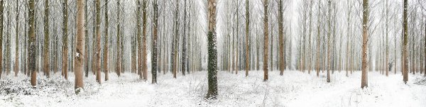 Snow Trees by Martin Brent