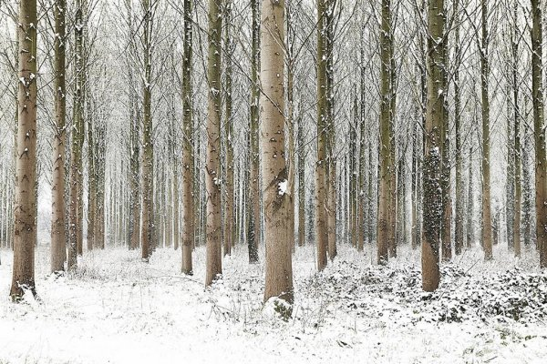 Snow Trees Iii by Martin Brent