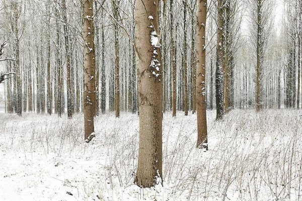 Snow Trees Ii by Martin Brent