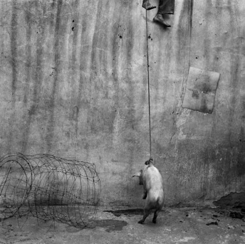 The Hanging Pig by Roger Ballen