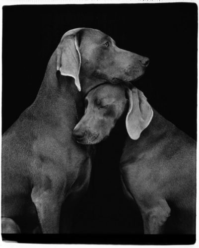 Friends by William Wegman at Hamilton-Selway Fine Art