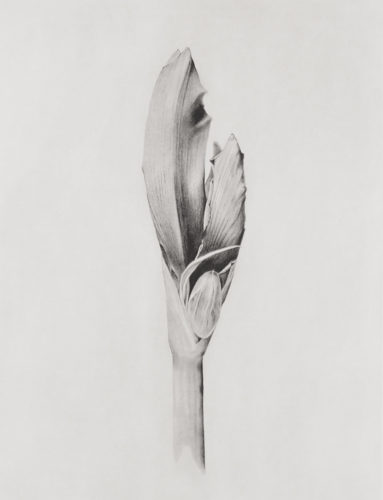 Amaryllis by Joanna Webster at