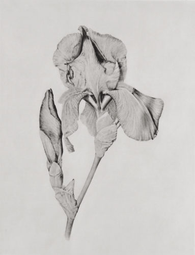 Iris by Joanna Webster at