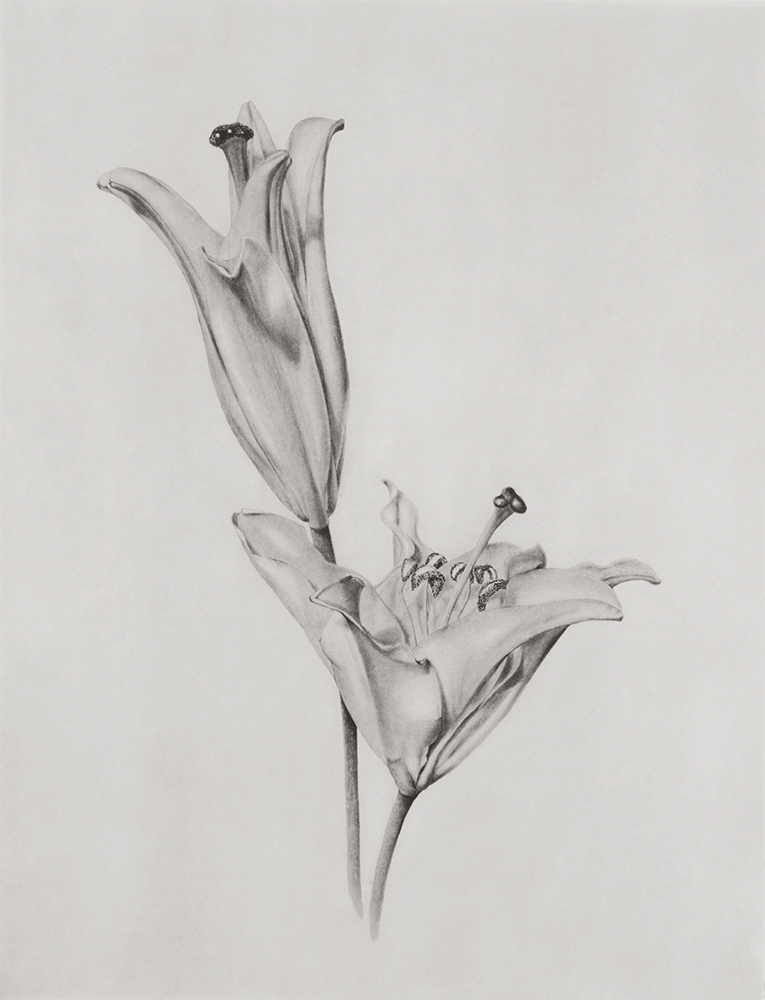 Lilium by Joanna Webster