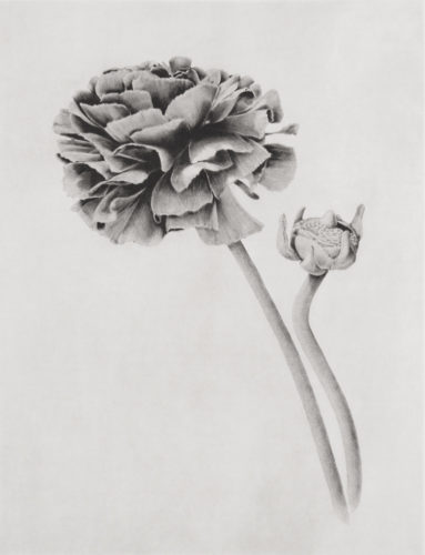 Ranunculus by Joanna Webster at