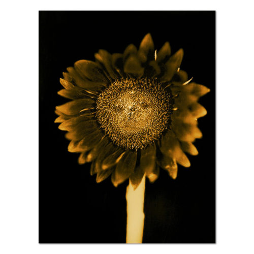 Sunflower by Chuck Close at