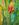 Yellow Tulip 3 by Sari Davidson