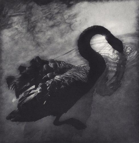 Swan by Dennis Fagan at